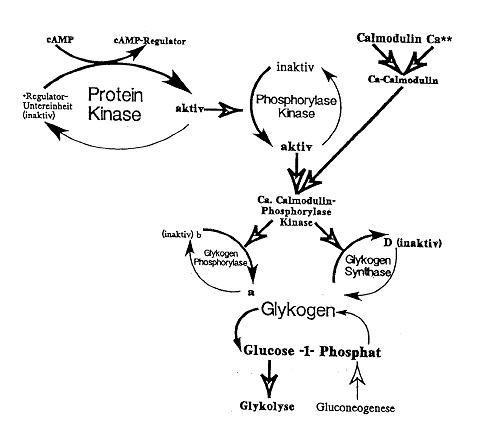 Verjüngung und Regeneration einer Hautzelle durch Unterstützung der Kollagenbildung bzw. cAMP-Beieinflussung
