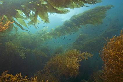Rohstoff für weltweite Algenkosmetika - Darstellung von Seetang (braune Meeresalgen) innerhalb eines Tangwaldes (sea kelp forest) an der Atlantikküste